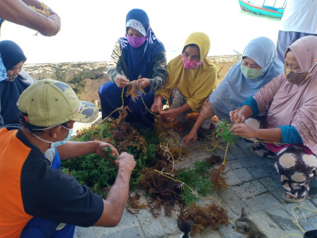 5 Tons Seaweed Seeds Distributed for Seaweed Farmers in Thousand Islands