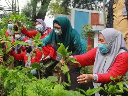 50 Kilogram Pakcoy Berhasil Dipanen dari Taman TOGA Pulau Karya