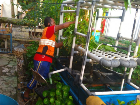 Tens Kilograms Hydroponic Water Spinach Harvested in Pramuka Island