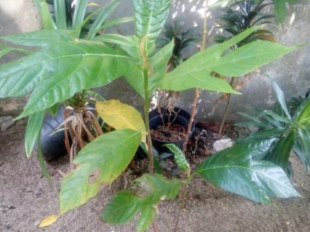 Seven Resort Islands Urged to Plant Breadfruit Tree