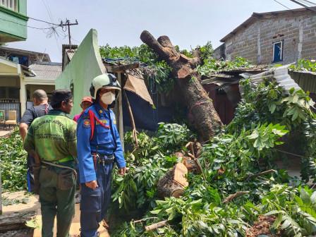 Petugas Gabungan Evakuasi Pohon Tumbang di Ciracas