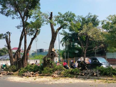 Tiga Pohon Beringin Dipangkas di Joglo