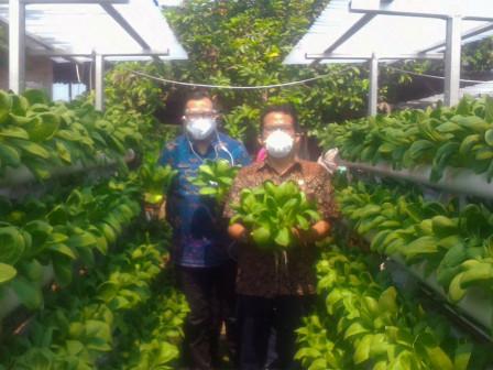 360 Kilogram Sayuran Hidroponik Dipanen Poktan Kota ErteLima Farm Jagakarsa