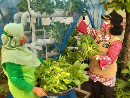 Urban Farming Kelurahan Rawa Bunga Panen Sayur Pak Coy