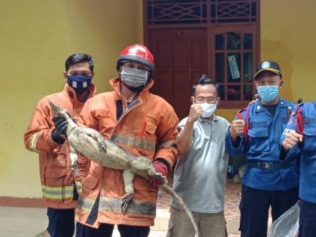 Seekor Biawak Berhasil Dievakuasi dari Rumah Warga di Pulau Tidung