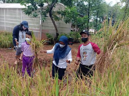 Puluhan Siswa di Jakarta Utara Diajak Panen Padi dan Sayuran di Walkot JU Farms