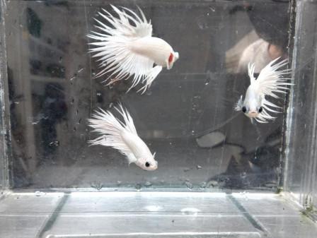 Mata Belok, Spesies Ikan Cupang Baru dari Slipi