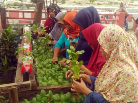 Poktan RW 04 Tidung Island Harvested First Hydroponically-grown Bok Choy