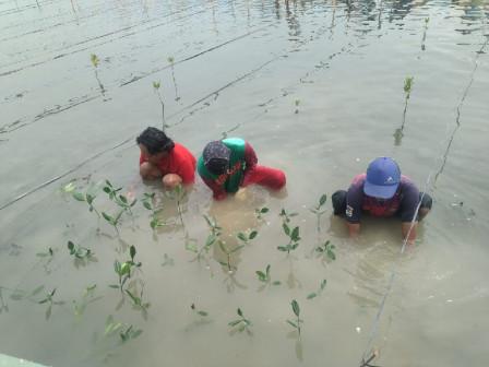 10.000 Bibit Mangrove Ditanam di Kawasan Wisata Jembatan Pengantin