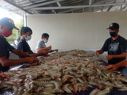 Budidaya Binaan Sudin KPKP di Pulau Untung Jawa Panen 1,5 Ton Udang Vannamei