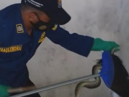 Seekor Ular Sanca Berhasil Dievakuasi dari Rumah Warga di Pulau Pari