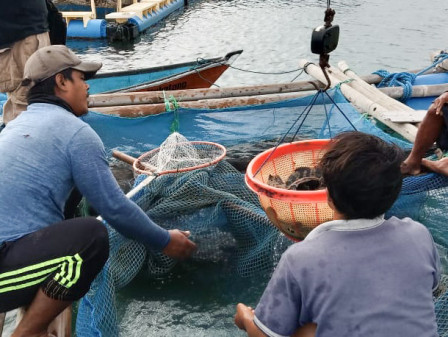 Fish Farming Group Under Thousand Islands KPKP Harvests 3.7 Tons Groupers