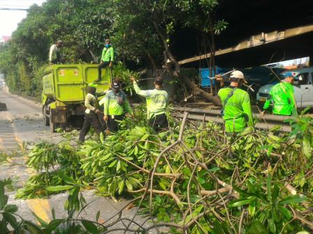Belasan Pohon Dipapas di Jalan Makaliwe
