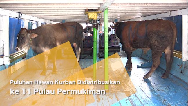 Puluhan Hewan Kurban Didistribusikan ke 11 Pulau Permukiman