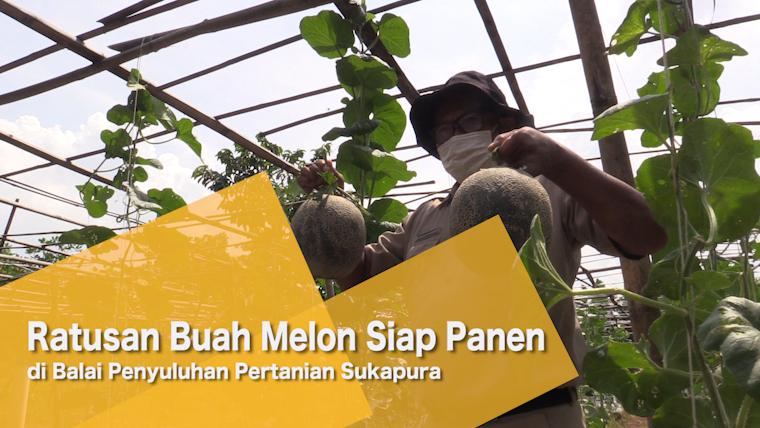 Ratusan Buah Melon Siap Panen di Balai Penyuluhan Pertanian Sukapura