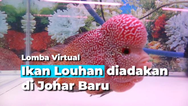 Lomba Virtual Ikan Louhan diadakan di Johar Baru