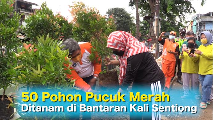 50 Pohon Pucuk Merah Ditanam di Bantaran Kali Sentiong