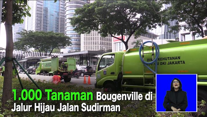 1.000 Tanaman Bougenville di Jalur Hijau Jalan Sudirman.mp4